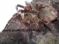 Preview: Theraphosa blondi, Spiderling