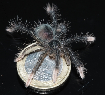Theraphosa apophysis, Spiderling