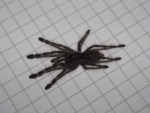 Poecilotheria tigrinawesseli - Spiderling